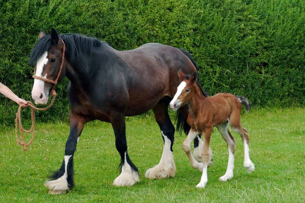 shire horse breed