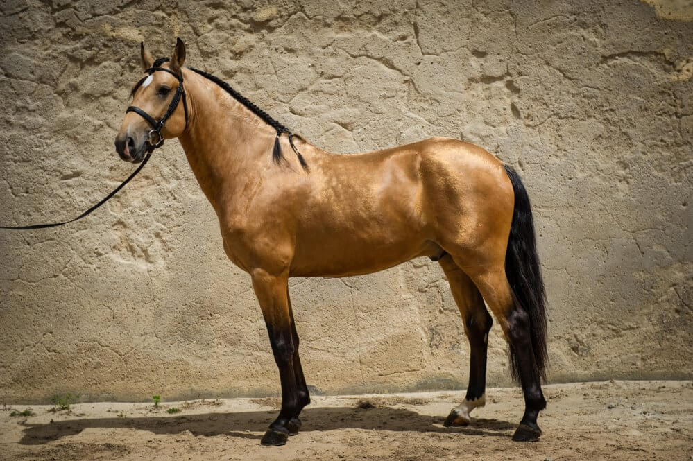 lusitano horse breed