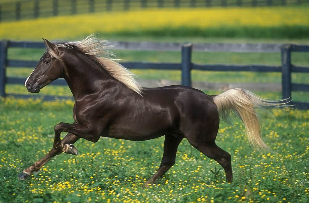 rocky mountain horse stallion