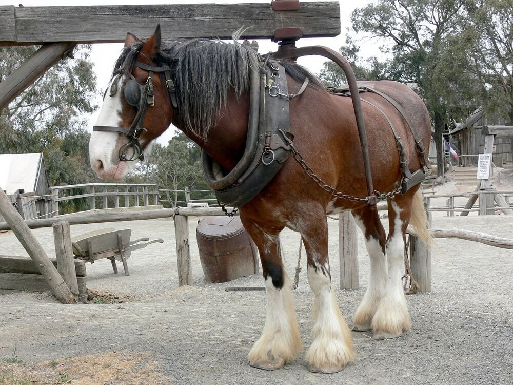 shire horse is working hard