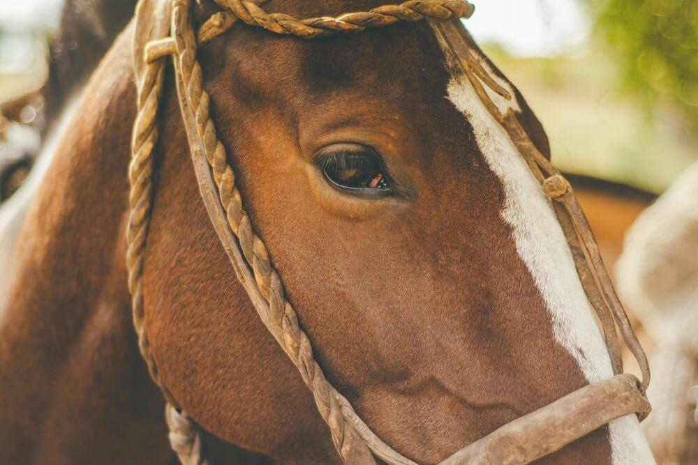 a mature horse