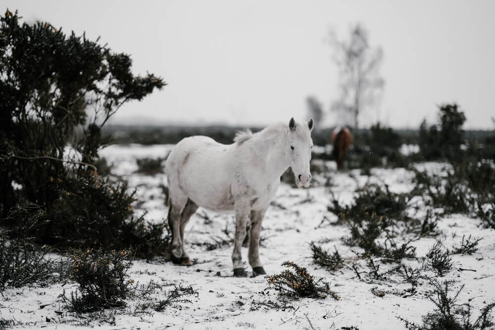 Horsehorse loses weight in the winter
