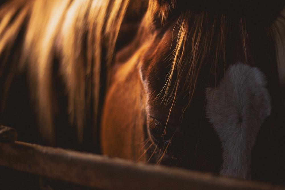 purpura hemorrhagica in horses