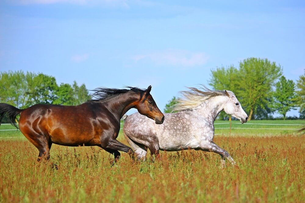 arabian horse vs quarter horse vs thouroughbred