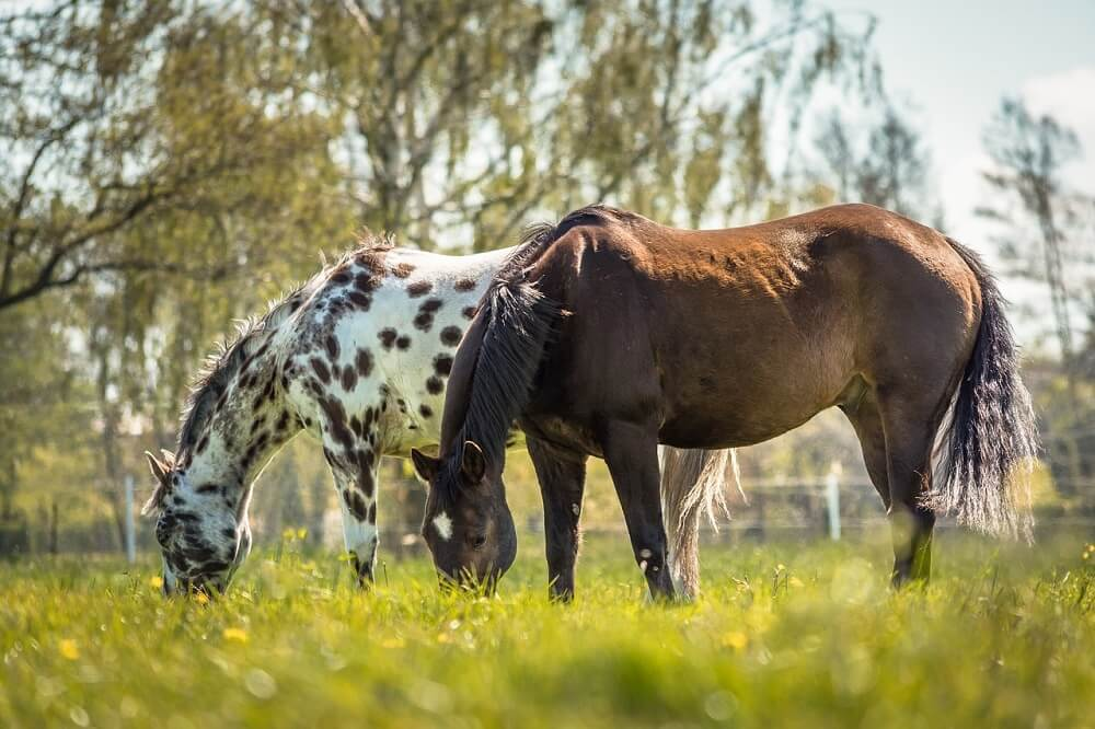 my favorite calmest horse breeds