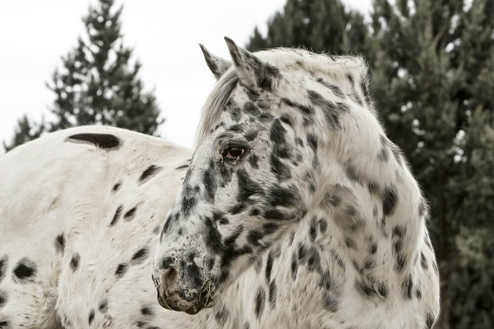 Appaloosa Horses Cowboy's Choice