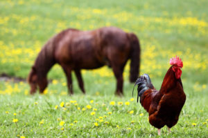 my horse ate chicken feed
