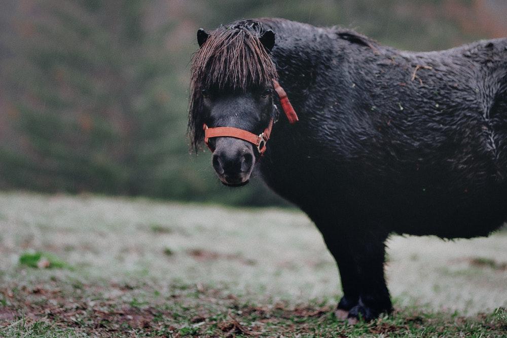 shetland pony vs miniature horse