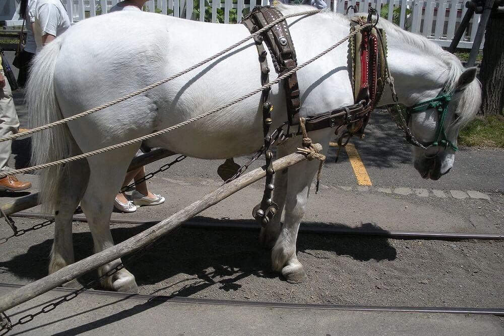 Hokkaido horse or pony