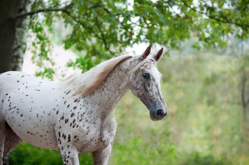 danish horse breeds