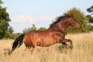 american horse breeds