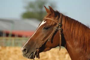 how to become a horse breeder