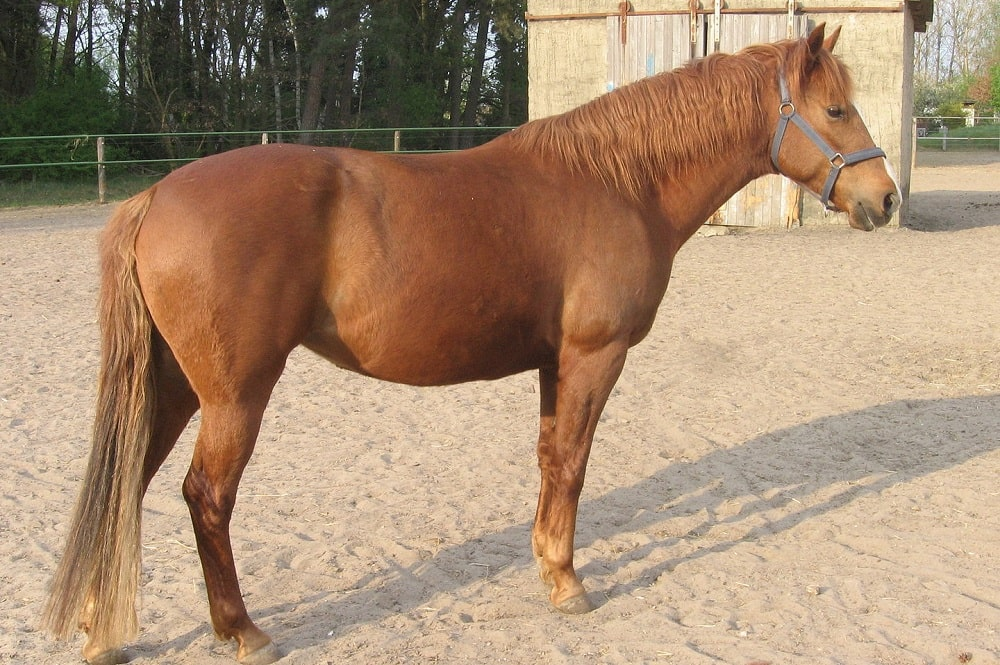 The Barb, or Berber horse