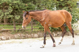 signs of wound infection in horses
