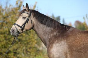 czech and slovak horse breeds