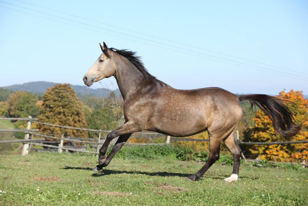 Kinsky Horse