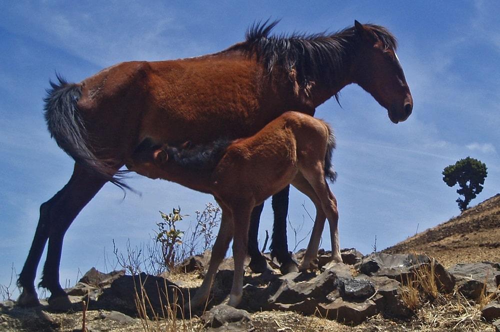 Ethiopian Horse
