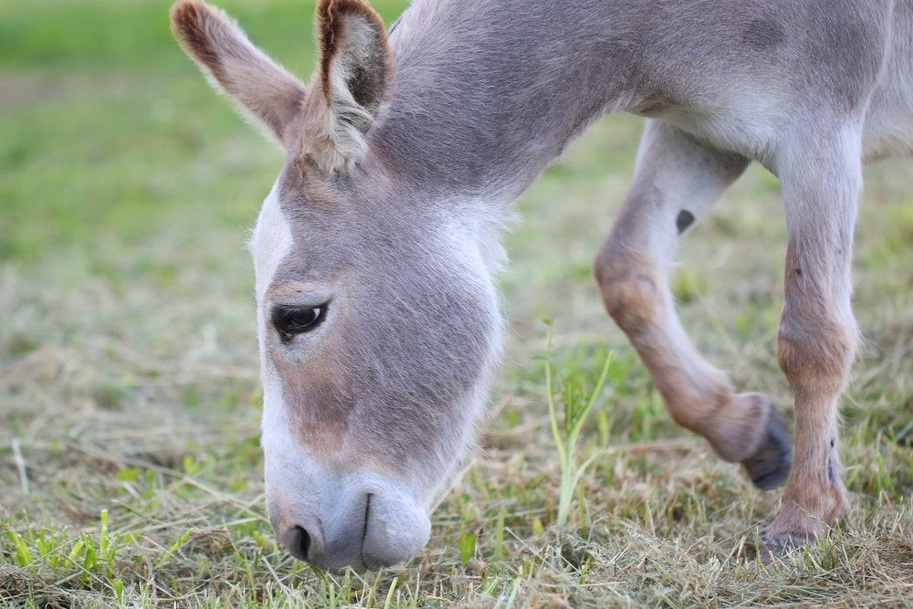 How Can You Tell Your Donkey Is Too Fat