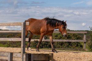 feed for laminitic horses