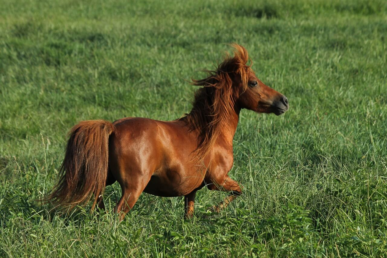 miniature horse training tips