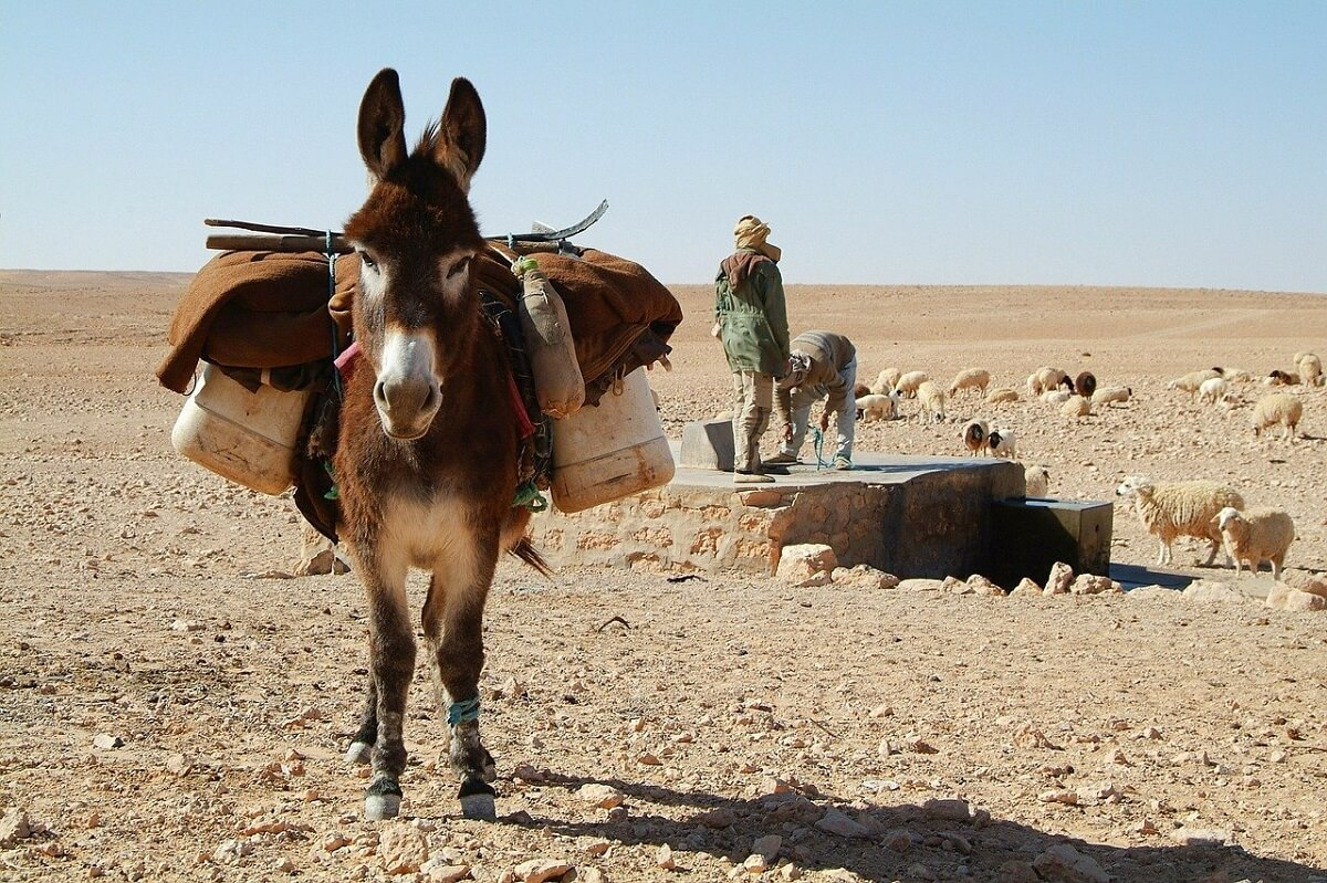 Donkeys And Mules Are Creatures Of Habit