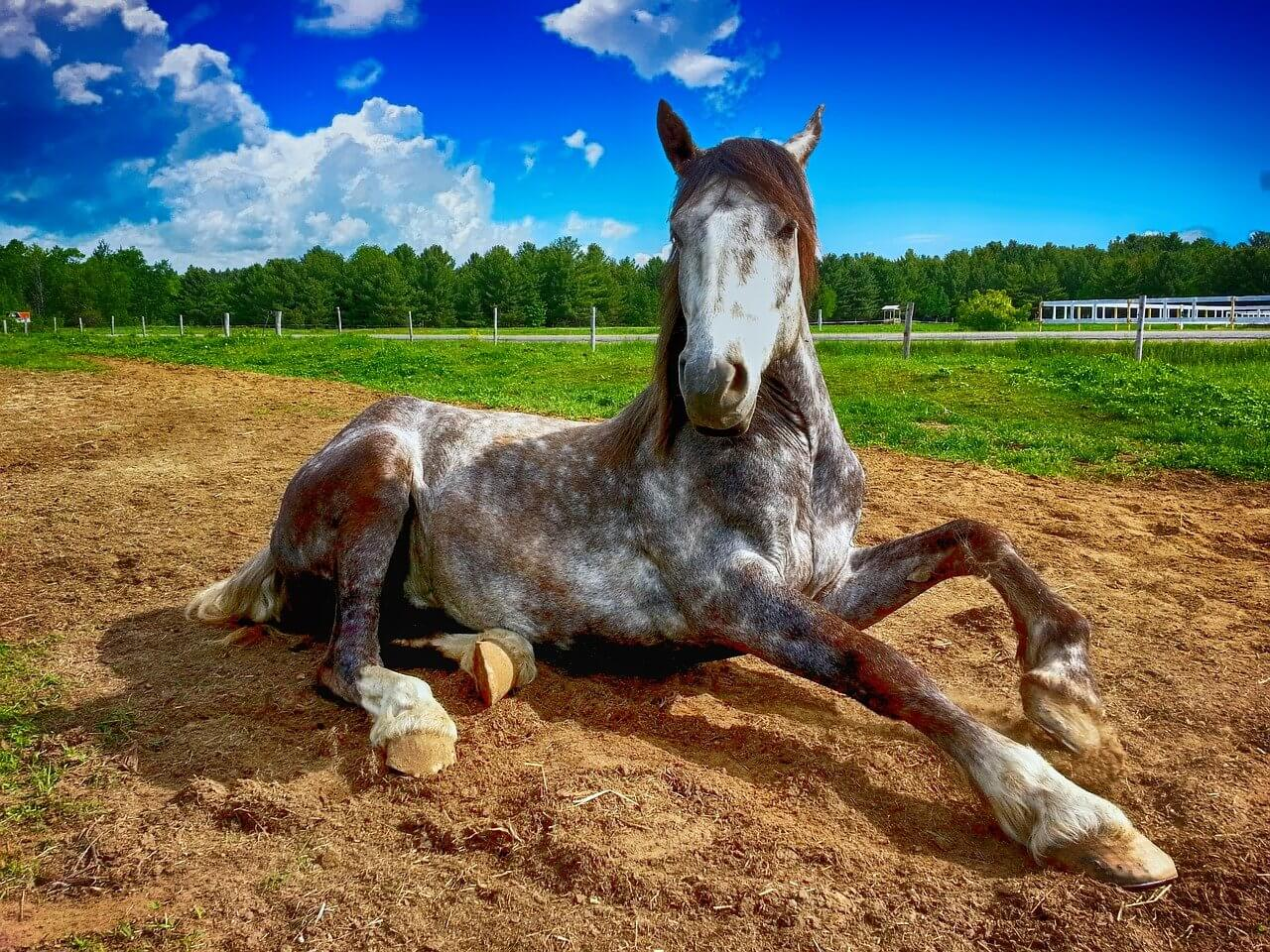 Is It Normal For A Horse To Lie Down